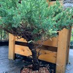 Juniperus chinensis San Jose